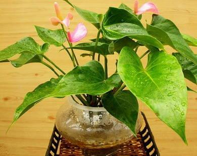 澳门新葡京线上网址家庭绿化升温 粉掌和红掌花卉受青睐