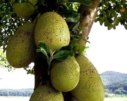 菠萝蜜的营养价值及功效
