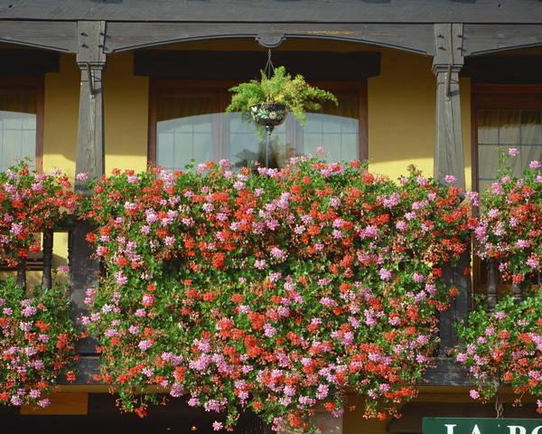 适合在阳台上爬藤的花