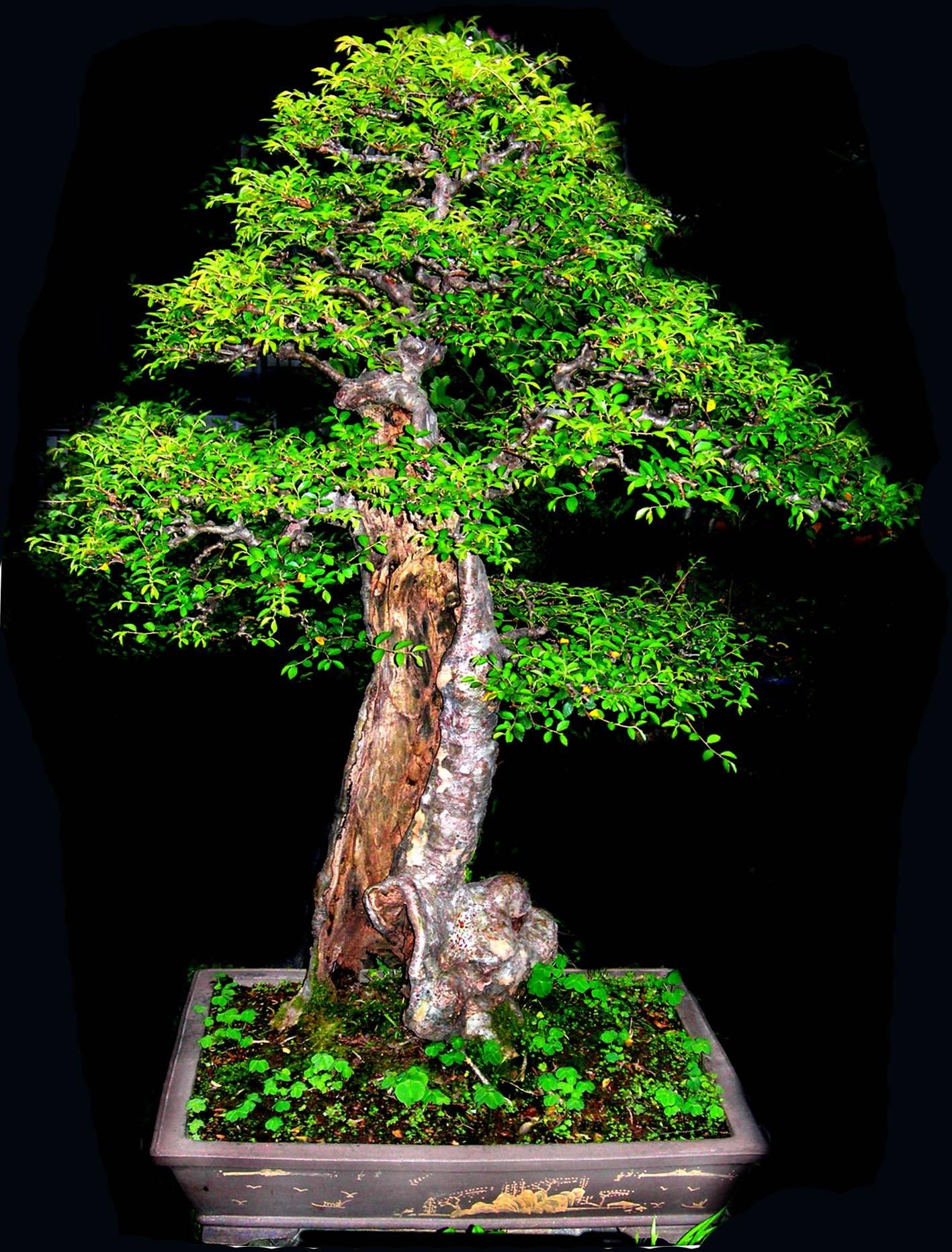 榆树盆景怎样养护管理(图)