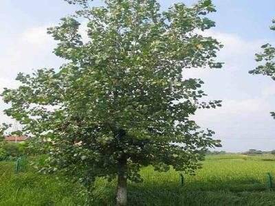 滨为求绿化榶槭树种找遍东北三省图片