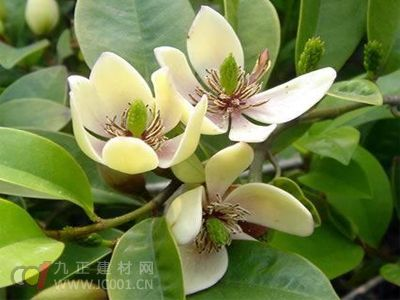 含笑花栽培防害管理方法
