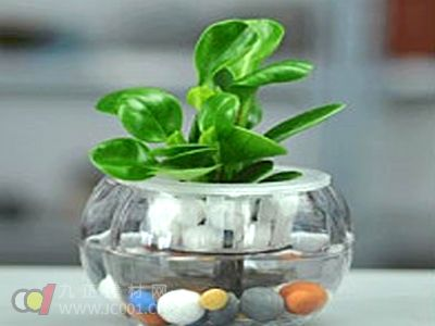 福州榕城持续高温 水养植物走俏市场
