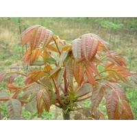 塑料育苗盘培育芽苗菜香椿芽栽培技术指导香椿种子常年供应
