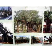 黄金沙艺术仿古植物榕树假树制作