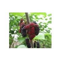 果桑苗,树形开张,枝条细长,花果极多