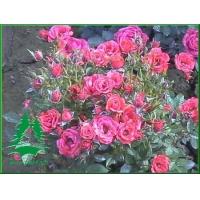 草坪价格-红花酢浆草,马尼拉,葱兰,紫藤,爬山虎,麦冬,美人