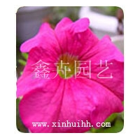 矮牽牛,萬壽菊,一串紅,雞冠花等花卉種子