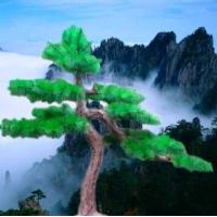 假树-假树盆景-假树迎客松盆景